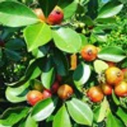 Guava[85]